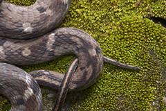 Pseudoxenodon stejnegeri (Sam's Photography Life) Tags:           nature snake canon 1dx 100mm night