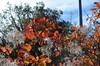 Rhus [Sgonico - 29 October 2016] (Doc. Ing.) Tags: 2016 trieste veneziagiulia friuliveneziagiulia fvg nordest italy carso sgonico prosecco ts fall autumn leaves foliage plant somaco