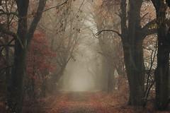 November nebel (nettisrb) Tags: waldweg wald wood forrest weg path allee bume tree trees linden nebel licht light landscape landschaft nature autumn herbst bltter