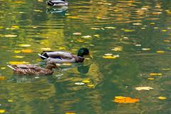 DSC_6487 (sergeysemendyaev) Tags: moscow 2016 russia   fall autumn goldenautumn   ducks leaves    pond water couple