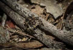 Saitis sp. (dustaway) Tags: arthropoda arachnida araneae araneomorphae salticidae euophryinae saitis jumpingspider australianspiders nature naughtonsgap northernrivers nsw richmondvalley australia