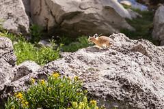 Pika Pickings (GlobalGoebel) Tags: canonef24105mmf4lisusm canoneos5dmarkiii 24105mm canon eos 5d mark 3 iii pika cute grand teton national park backcountry flowers wyoming marion lake tetoncresttrail