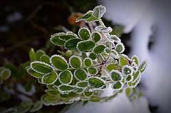 Frosty plant  (binaepunkt) Tags: newbie anfnger cold hamburg makro macro closeup beautyinnature naturephotography iphone7plus iphone nature leaves leaf plants winter frost plant