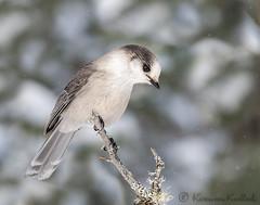 Whiskey Jack (KvonK) Tags: bird grayjay canadiannationalbird whiskeyjack algonquinpark winter kvonk february 2016
