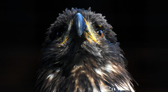 The Observer (Nephentes Phinena ☮) Tags: nikond300s wildparkschwarzeberge weiskopfseeadler baldeagle falknerei falconry