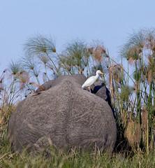 Egret and papyrus. Oh, and an elephant. (Edward Arthur) Tags: elephant egret bird animal papyrus plant africa botswana safari okavanga