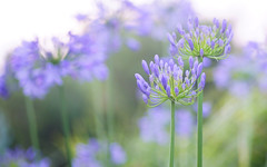 Bloomin' beautiful! (judith511) Tags: agapanthus flowers toowoomba queensland odc