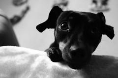 IMG_1101 (elBompy) Tags: nice foto forlife life forlive pet dog pinscher mypet mydog photo eyes elder colombia day