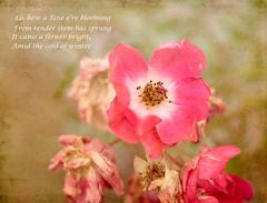 my little December rose (bonnie5378) Tags: roses december nov2016 textured oldcarol