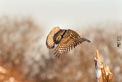 ''L'envol!'' Chouette épervière/ Northern hawk owl (pascaleforest) Tags: oiseau brid animal nikon nature wild wildlife québec canada fauna passion hibou owl flying lenvol