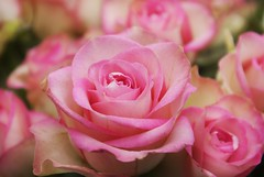 pink&lovely (Suzanne's stream) Tags: pink rosa rosen roses gift winter blooming blühen africa