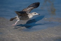 Juvenile Great Black-backed Gull (BobHartmannPhotography) Tags: marcoisland landscape nature bobhartmannphotography bobhartmanncom 365 wildlife wwwbobhartmanncom bbobhartmann bobhartmann everglades bird birds tigertailbeach fl usa