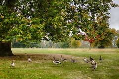 Hyde Park  (Londres - London) (Carlos M. M.) Tags: london londres hydepark patos inglaterra england canon100d hdr trees