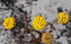Podotheca chrysantha (brundrett) Tags: everlasting daisy yellow spring annual
