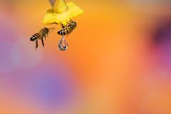 Honey Bee (gilamonster8) Tags: honeybee arizona bee bokeh beyondbokeh drip drop