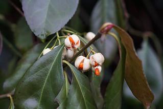 Frucht des Pfaffenhütchen