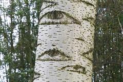 Ooit bespied gevoeld in het bos (Explore) (Olga and Peter) Tags: tree eyes nederland thenetherlands boom ogen diemen diemerbos fp1010633 explore19102014