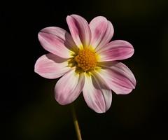 Dahlia, Pink, yellow, RHS garden wisley (Sarah Anne Mac) Tags: pink dahlia white floral rhsgardenwisley flowerphotography flowersarebeautiful exquisiteflowers faunaandfloraoftheworld