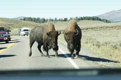 Female Bison (moosejaw2) Tags: bison yellowstonebison