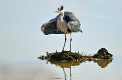 Bad hair day (Yako36) Tags: bird portugal ave birdwatching peniche tc14e nikonafs300f4 nikond7000