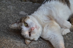 Tchitca (M. Victria) Tags: cute cat sad gatos bocejo