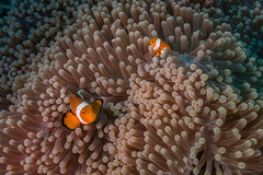 DSC05577.jpg (Vaajis) Tags: asia underwater diving malaysia borneo mabul seaanemone falseclownanemonefish