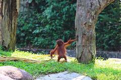 Orangutan (_paVan_) Tags: nature animals zoo singapore orangutan sanctuary wildanimals singaporezoo