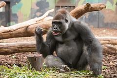 2014-09-18-10h33m40.BL7R7245 (A.J. Haverkamp) Tags: denmark zoo gorilla denemarken dierentuin givskud westelijkelaaglandgorilla canonef70200mmf28lisusmlens kipenzi pobgivskuddenmark httpwwwgivskudzoodk dob11082002