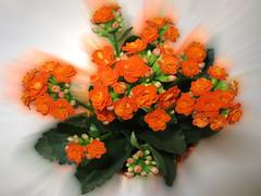 Feliz QUINTA-FLOWER (jacilluch) Tags: orange flower macro fleur flor blossoms jardin kalanchoe naranja kalanchoeblossfeldiana calanchoe cultivada