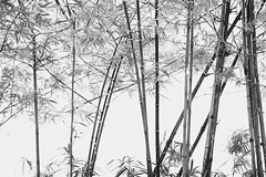 The Thin Bamboo Arrangements (teelip) Tags: beauty mono blackwhite chaos competition bamboo arrangements
