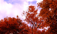 "Fiery Red-Orange leaves with Blue Sky above • <a style=""font-size:0.8em;"" href=""http://www.flickr.com/photos/34843984@N07/15238665288/"" target=""_blank"">View on Flickr</a>"