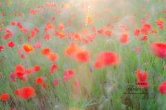 In the poppy fields (Giovanni Caddeo) Tags: wildlife poppy naturalmente defendersofwildlife earthhour nginationalgeographicbyitalianpeople totalphotoshop floraefaunadellasardegna nikond7000 papaverrhoesas papaverocomune nikonclubit tokinaaf1650mmf28atx165prodx