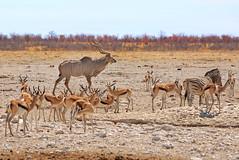 Kudu, Zebra & Springbok in Etosha (paulafrenchp) Tags: elephant zebra antelope waterhole etosha springbok kudu