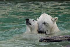 Les prliminaires (Chris@Issy) Tags: bear park france animal animals zoo bath wildlife ngc polarbear bain polar animaux parc blanc ours mulhouse zoologique sauvage polaire fauve oursblanc zoological ourspolaire chrisissy fabuleuse zoodemulhouse atempsperdu