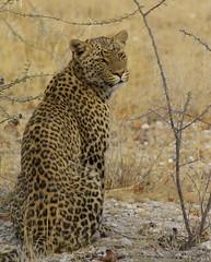 Leopard (paulafrenchp) Tags: park wildlife lion national leopard rhino namibia etosha specanimal specanimals