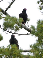 roosting turkey vultures (quadceratops) Tags: new york nature amsterdam turkey upstate vulture 14hawks8owls 14h8o top50hawk