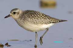 Black-bellied Plover (Stoil Ivanov) Tags: bird point grey montrose sanctuary plover pluvialis blackbellied squatarola
