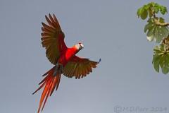 Scarlet Macaw (Ara macao) (M.D.Parr) Tags: bird nature birds flying costarica ornithology bif scarletmacaw aramacao drakesbay osapeninsula martinparr flightshot martindparr mdparr