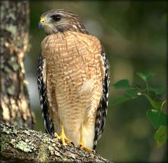 Active Neighbor (gatorgalpics) Tags: hawk intree causingacommotion surveyingtheneighborhood lookinggrand redshoulderorredtail
