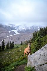 Deer at Mt. Rainier (Coastal Georgia Photography) Tags: washington paradise cascades mtrainier