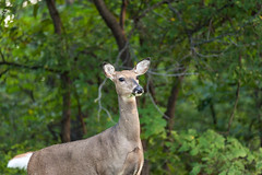 Wildlife on Display (Kevin VanEmburgh Photography) Tags: park nature nikon wildlife doe deer fawn kansas tamron wyandotte eatinggrass wyandottecountylake nikond700 kevinvanemburghphotography