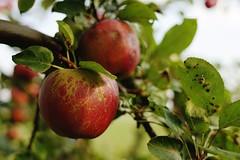 Vorboten des Herbstes (all martn) Tags: apfel sptsommer