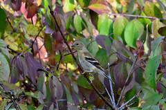 Lady Goldfinch (gdajewski) Tags: autumn fall colors birds female leaf backyard goldfinch ngc leafs