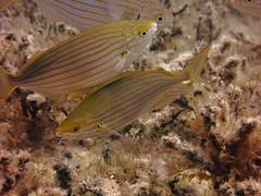 Salema Porgy, Xatt LAhmar, Gozo (yayapapaya77) Tags: plants fish underwater pflanzen diving malta fisch mediterraneansea gozo tauchen unterwasser mittelmeer goldstrieme salemaporgy canonpowershotg15 xattlahmar