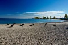 IMG_3755.JPG ((Jessica)) Tags: chicago beach geese lakemichigan