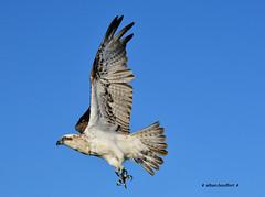 eagle (Al-Bambi) Tags: animal eagle oiseau australie faune aigle