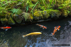 2014-10-13 Oregon Portland Japanese Garden Koi-6 (Michael Schmidt Photography Vancouver) Tags: blue school red orange brown white fish black reflection green grass yellow swimming grey moss beige rocks watergarden koi spotted gravel pictureperfect domesticated patterned coloration butterflykoi goshiki kohaku nishikigoi kawarimono koromo bekko chagoi utsurimono ochiba patterning gosanke asagi scalation brocadedcarp ghostkoi coldwaterfish commoncarpcyprinuscarpio kinginrin gon taishosanshoku showasanshoku hikarimoyomono taishosanke tanch shsui decorativepurposes kumonry kikokury kinkikokury doitsugoi michaelschmidtphotographyvancouverbc wwwmichaelschmidtphotographycom httpwwwflickrcomphotosdmichaelschmidtsets dmschmidtshawca httpswwwfacebookcommsphotographyvancouver httpswwwthisiswhatiseeca michaelmspixca salesmspixca httpsplusgooglecomb115575222591610367933115575222591610367933posts httpstwittercommspixvancouver httpwwwredbubblecompeoplemspixvancouvershop httpsmspixvancouveretsycom aquaculturedasafoodfish extensivehybridization ornamentalvariety outdoorkoipond