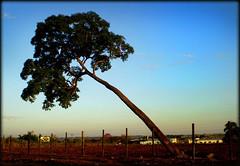 RVORE INCLINADA. (Zekinha2014) Tags: rvore inclinada