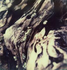 Barnacles (Ashley E. Moore) Tags: ocean sea film polaroid sx70 driftwood barnacles quadraisland instantfilm polaroidweek impossibleproject