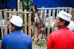 33 (Garry Andrew Lotulung) Tags: street portrait bw monochrome canon children indonesia cow blackwhite child muslim islam religion goat oldman human kambing adha humaninterest sapi tangerang idul eidmubarak iduladha canon7d